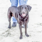 Happy Tails: Layla the Lab at Folly Beach, South Carolina