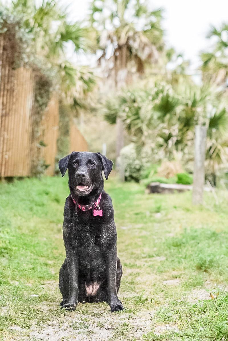 Pretty black Lab sitting on grass near Palm Trees, Folly Beach dog portraits, ©Karen Ann Photography