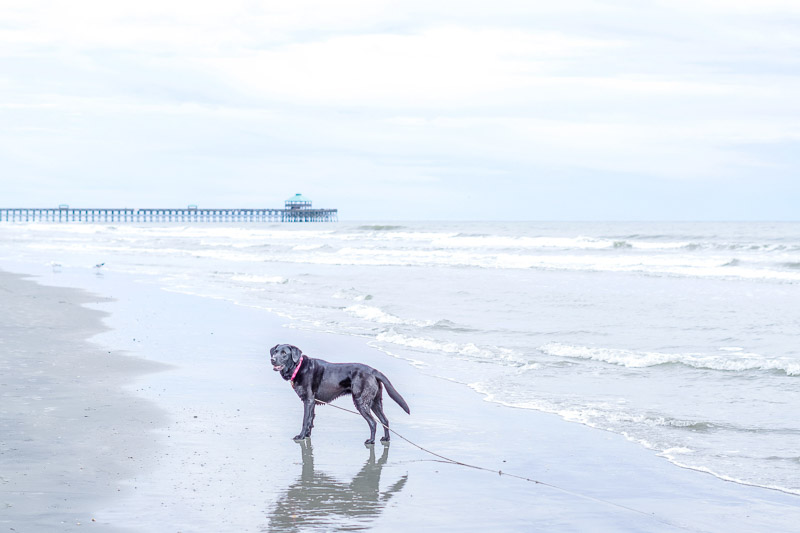 Black Lab on the beach, pier in the background, Folly Beach, SC, ©Karen Ann Photography