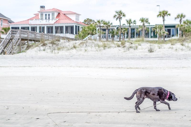 dog walking along sandy beach, lifestyle dog photography ©Karen Ann Photography | Folly Beach, SC