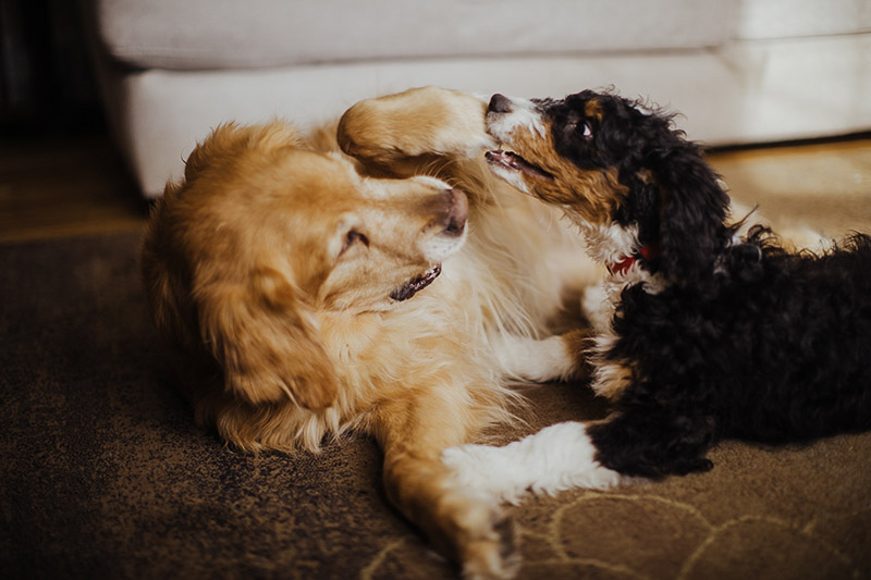 best of friends, senior dog and puppy, Bernese Mountain Dog mix ©Nicole Maddalone Photography | in home dog photography