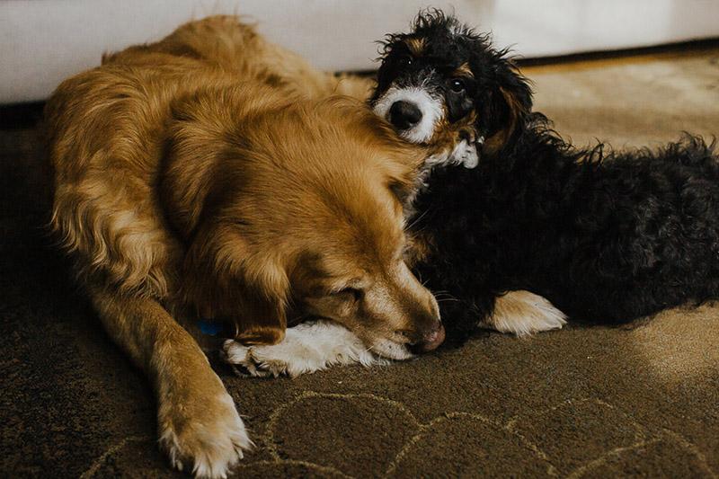 Bernese Mountain Dog mix puppy playing with bestie, dog dynamic duo, ©Nicole Maddalone Photography | lifestyle dog photography