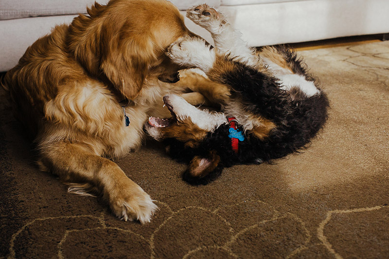 Golden Retriever playing with mixed breed puppy, ©Nicole Maddalone Photography | lifestyle dog portraits, Saratoga Springs, NY