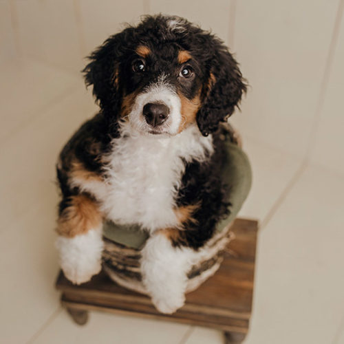Puppy Love: Marley the Bernese Mountain Dog Mix