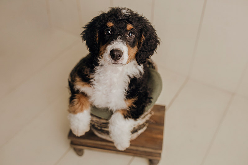 cute Bernese Mountain Dog mix in bowl, newborn styled puppy portraits, ©Nicole Maddalone Photography