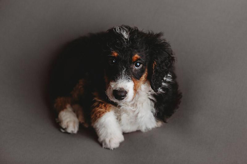 cute puppy on gray blanket, ©Nicole Maddalone Photography | newborn styled puppy portraits