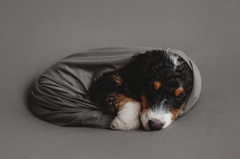 sleeping Bernedoodle puppy, ©Nicole Maddalone Photography | newborn styled puppy portraits, Bernese Mountain Dog mix