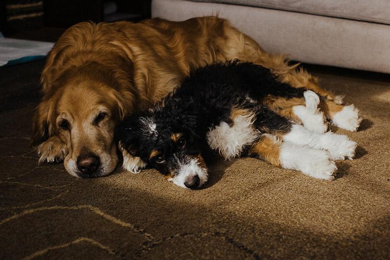 senior dog and puppy snuggling together, ©Nicole Maddalone Photography | lifestyle dog photography