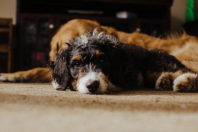 Bernedoodle puppy and Golden Retriever, ©Nicole Maddalone Photography | lifestyle dog photography