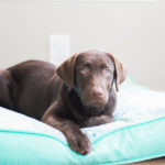 Happy Tails:  Maggie and Violet the Labrador Retrievers