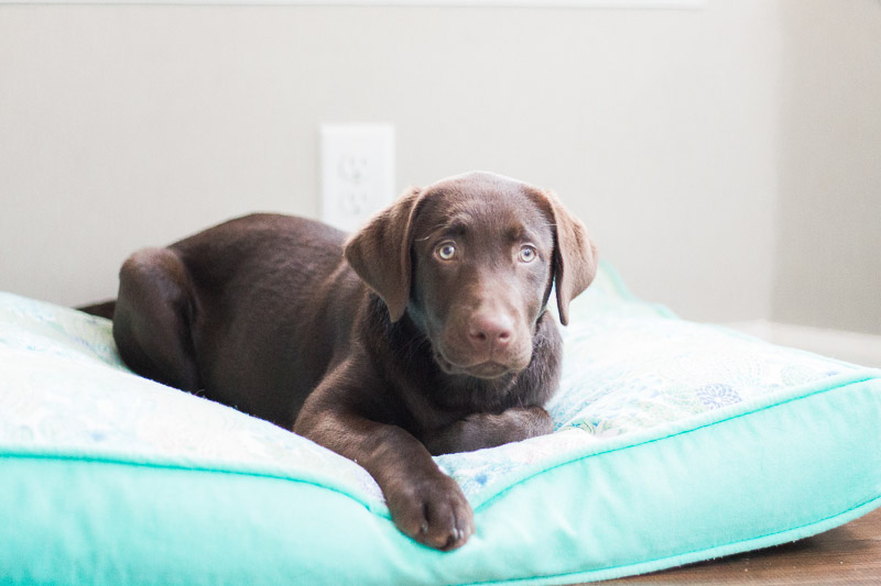 chocolate lab puppy lying on bed, ©Kasie Tanner Photography | Lifestyle dog photography, Eatonton, GA