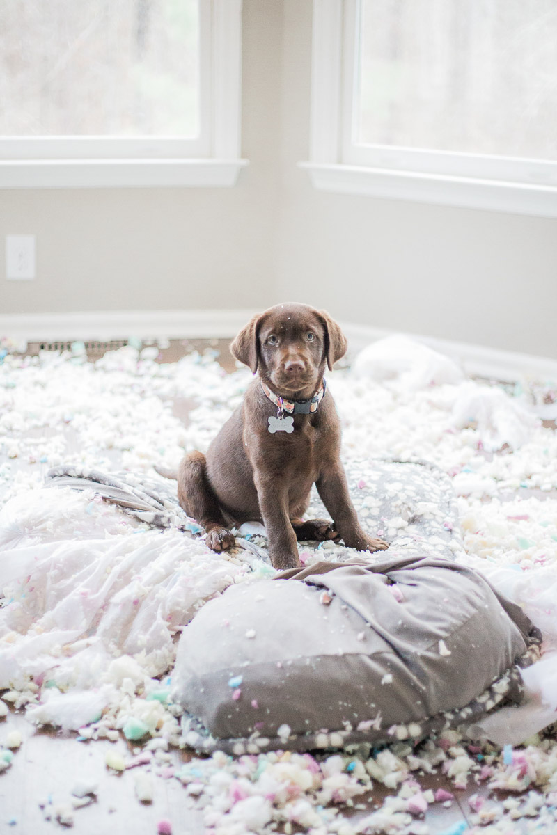 "Puppy and ""exploding bed"" photo, ©Kasie Tanner Photography 