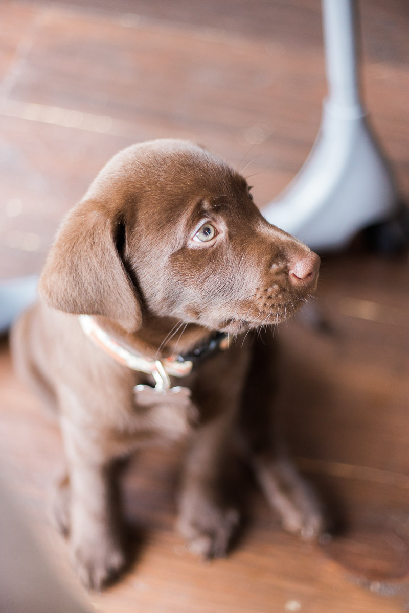 adorable chocolate lab puppy, ©Kasie Tanner Photography | Lifestyle puppy photography