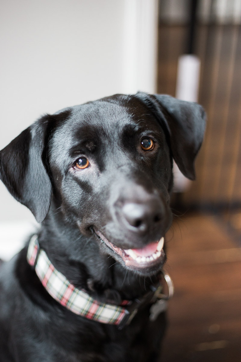 beautiful black lab, ©Kasie Tanner Photography | Lifestyle dog photography, Eatonton, GA