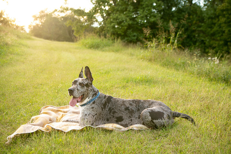 handsome merle Great Dane lying on blanket in the grass, dog photoshoot ideas