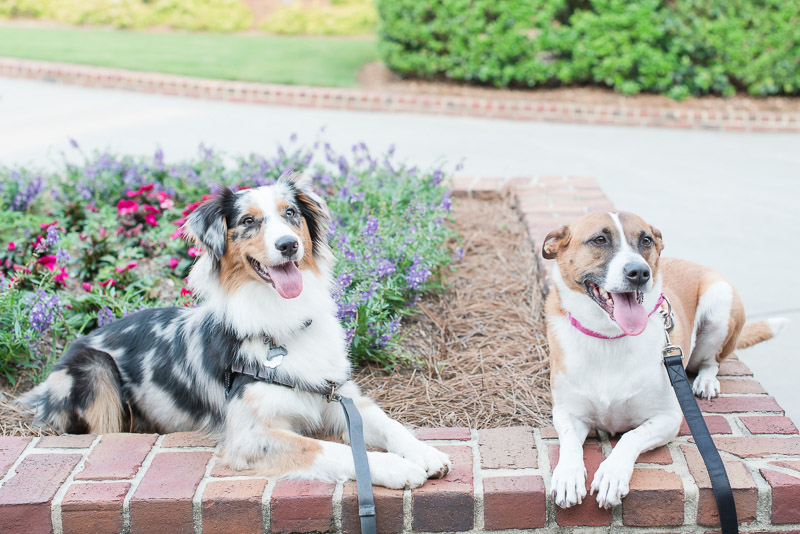 border collie mix dogs resting in planter, © Michelle and Sara Photography | American Tobacco Campus dog-friendly engagement photos