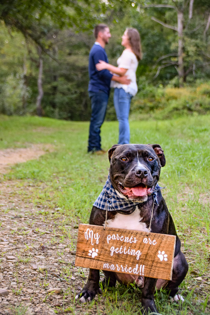 handsome bully mix wearing engagement announcement sign, ©Photos By Miss Kris | dog-friendly engagement session