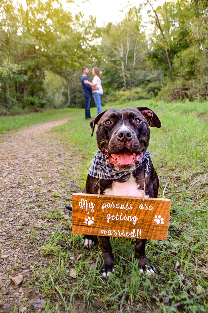 Cute pitbull with engagement announcement sign, dog-friendly engagement session | ©Photos By Miss Kris