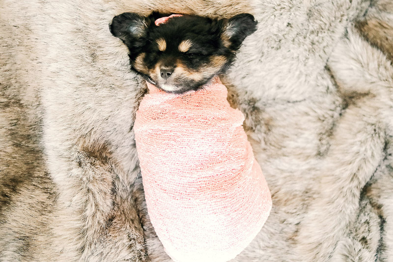 swaddled puppy for newborn shoot, ©Samantha Coleman Photography | newborn style puppy portraits