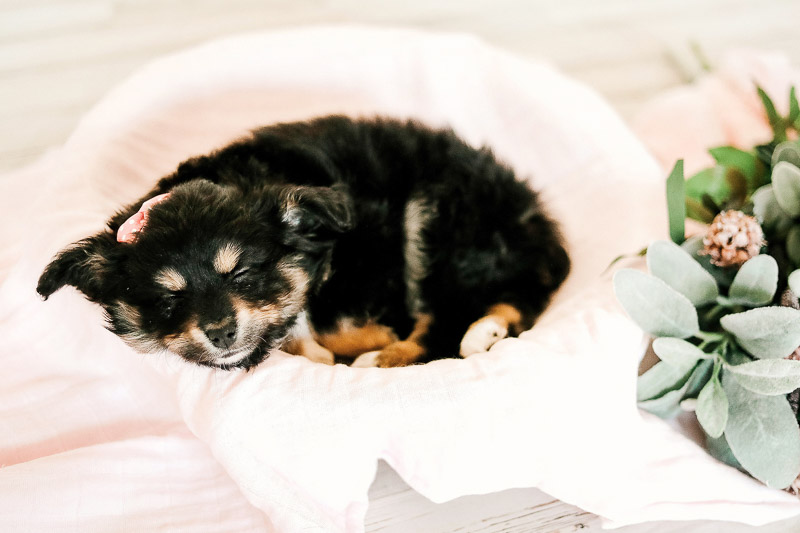 Toy Australian Shepherd puppy sleeping peacefully, ©Samantha Coleman Photography | newborn style puppy portraits