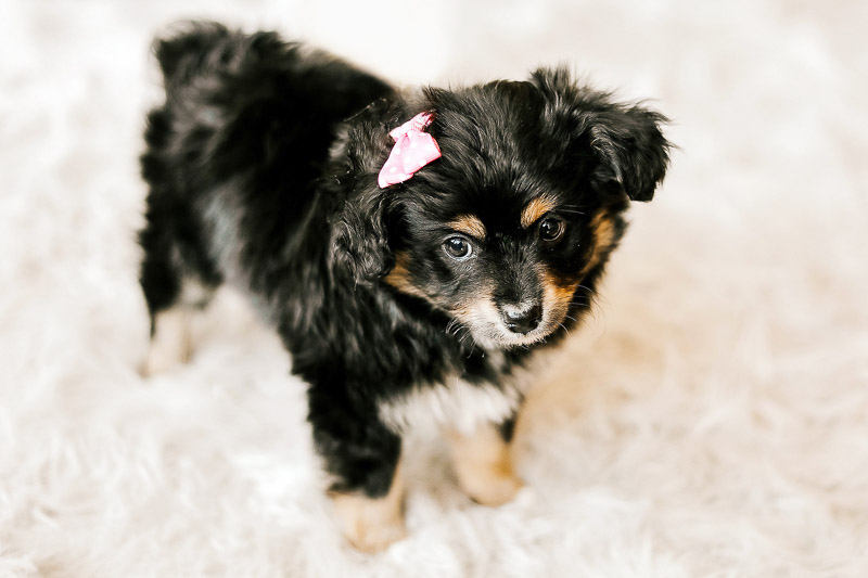 cute puppy wearing pink bow, ©Samantha Coleman Photography, lifestyle dog photography, toy Australian Shepherd puppy