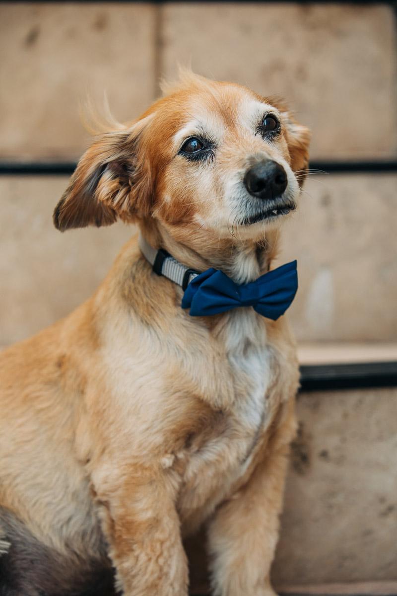 sweet senior dog wearing blue bow tie, ©222 Photography | lifestyle dog portraits