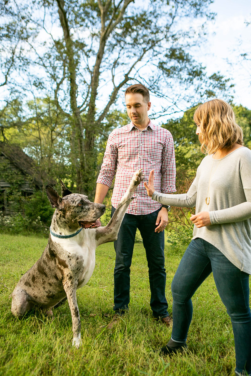 Great Dane giving a high five, dogs are family, professional pet portraits | ©Mandy Whitley Pet Photography