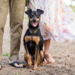 Engaging Tails:  Otto the Min Pin Mix in Waimanalo, Hawaii