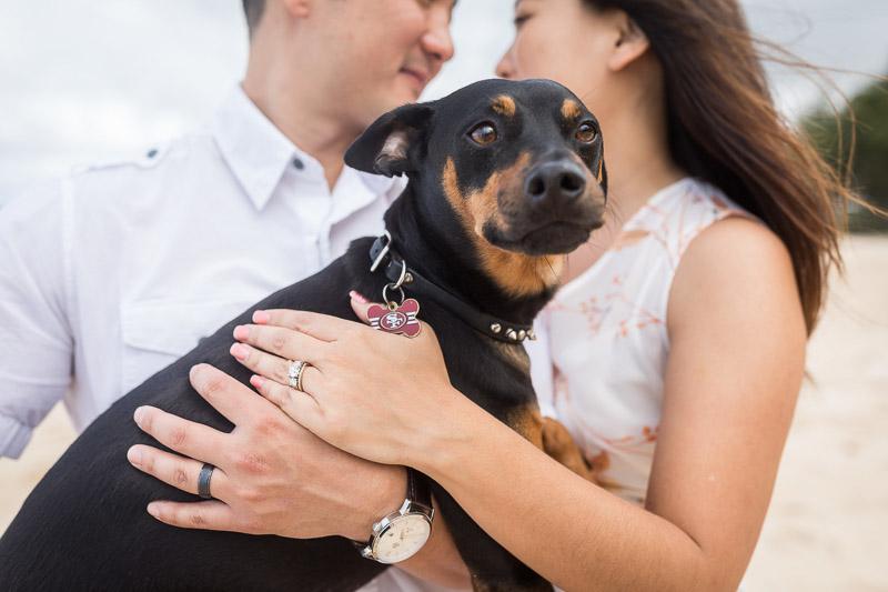adorable Min Pin wearing SF 49ers tag, ©VIVIDFotos | dog-friendly engagement photos, Waimanalo, Hawaii