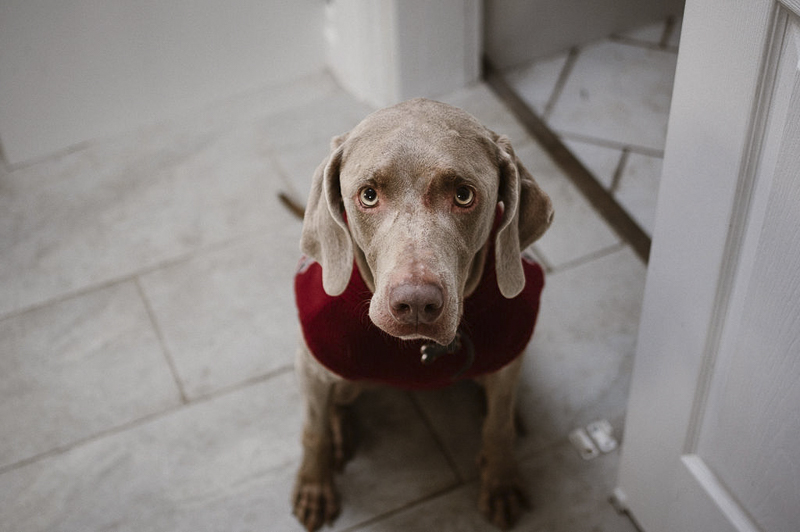 Weimaraner wearing red sweater, lifestyle dog photography | ©Sandy Anger Studios |