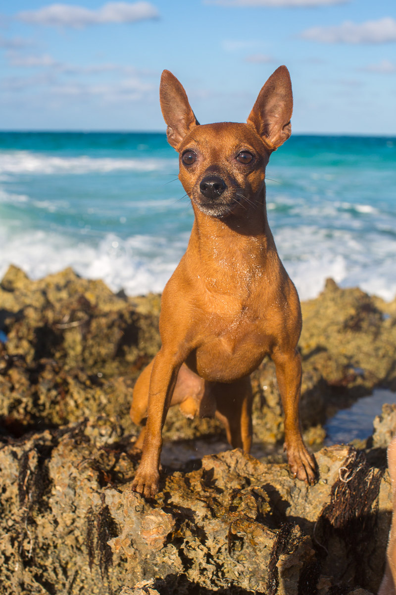 tan min pin standing on the rocks, ©Paola Wells Photography | Harbour Island, Bahamas dog photographer