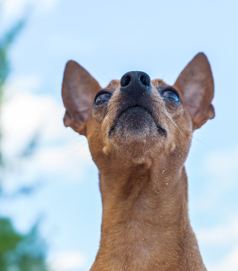 cute dog sitting on the beach, Miniature Pinscher | ©Paola Wells Photography | Harbour Island, Bahamas dog photographer