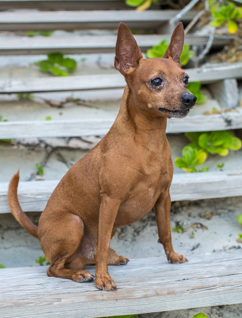 tan Miniature Pinscher sitting on steps at the beach | ©Paola Wells Photography | Harbour Island, Bahamas dog portraits, beach dog