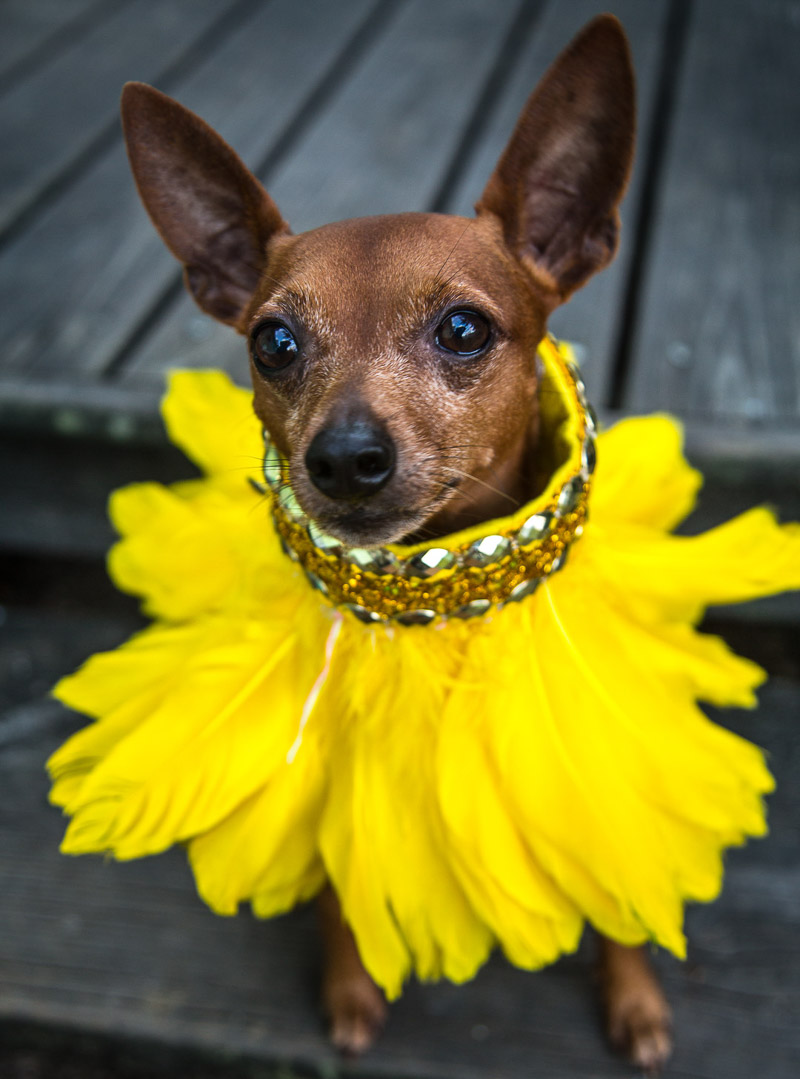 adorable dog wearing yellow feather collar | ©Paola Wells Photography | Harbour Island, Bahamas dog photographer