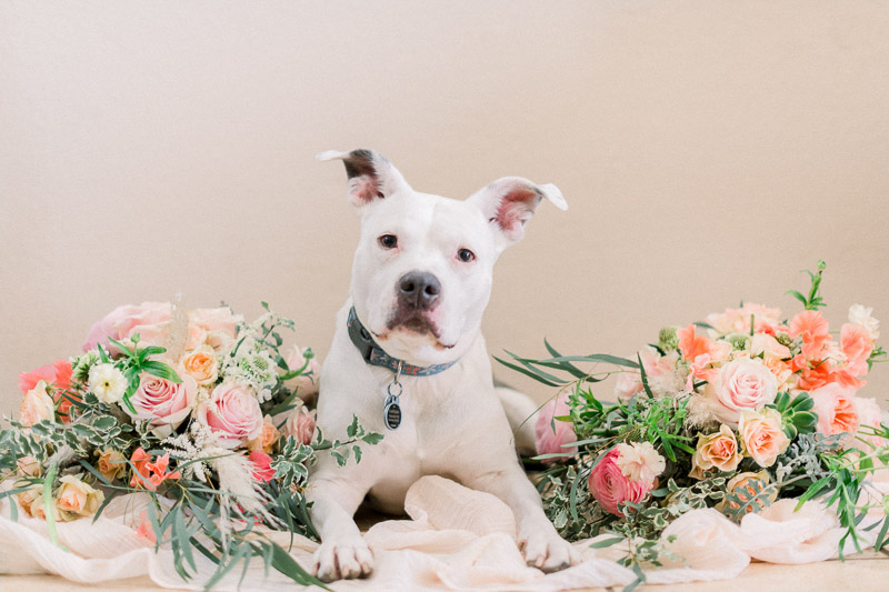 gorgeous white pit bull and floral bouquet, studio dog photography, ©Holly Sigafoos Photography, Orange County, CA
