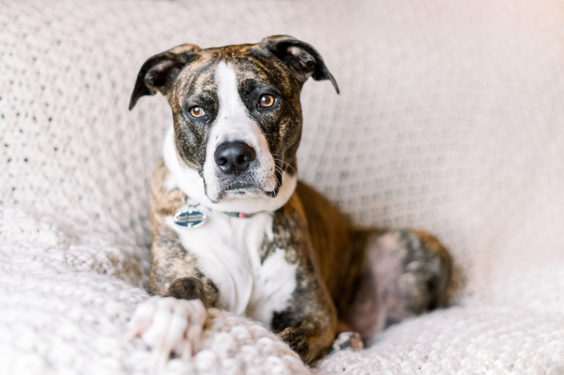 brown and white mixed breed on sofa, lifestyle dog photography | Holly Sigafoos Photography