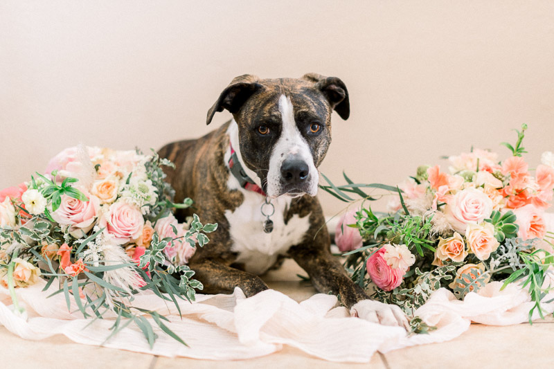 Pit bulls and flowers, Studio dog photography, ©Holly Sigafoos Photography
