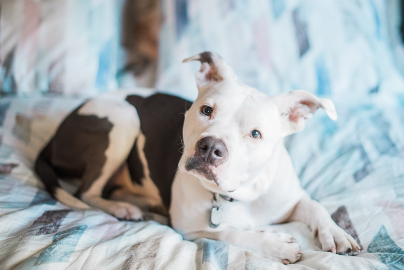 Pit bull Awareness Month, ©Holly Sigafoos Photography, cute Pit bull laying on bed