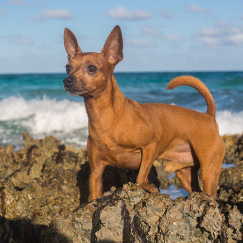 Happy Tails:  Briland the Miniature Pinscher