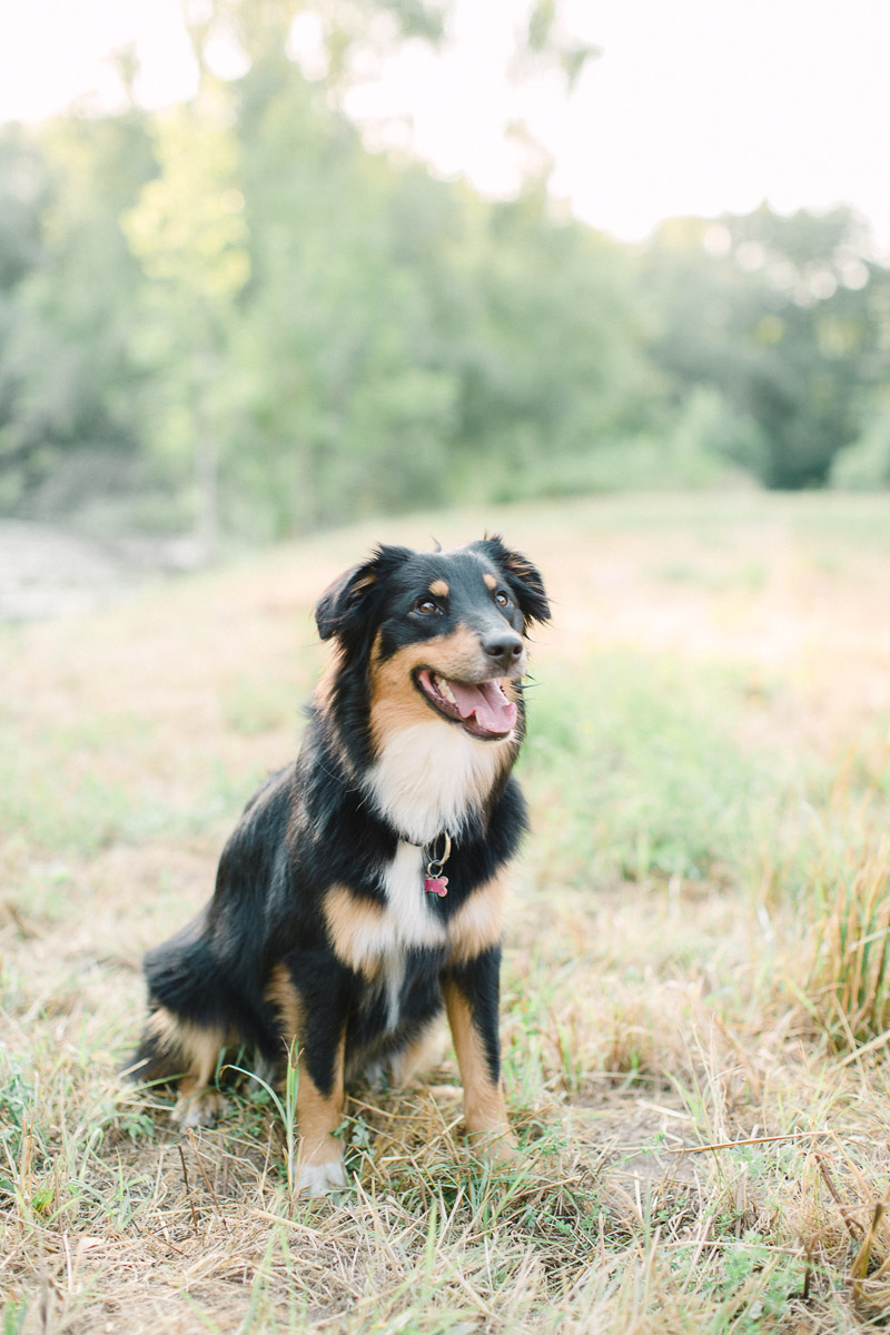 gorgeous Aussie sitting in grass, lifestyle dog photography ©Alicia Yarrish