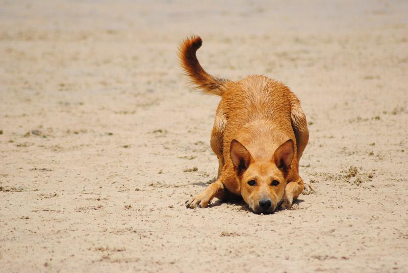 adoptable dog play bow on the beach