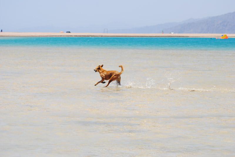 dog running at the beach, Animal Welfare Dahab in Sinai, Egypt