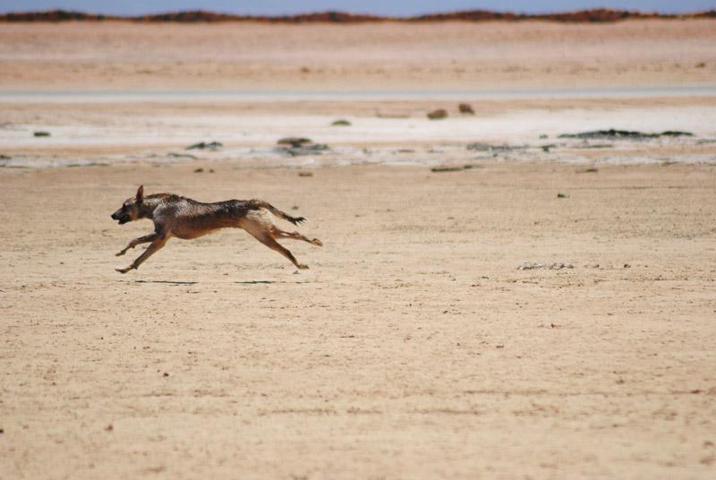 dog running in desert, Animal Welfare Dahab in Sinai, Egypt
