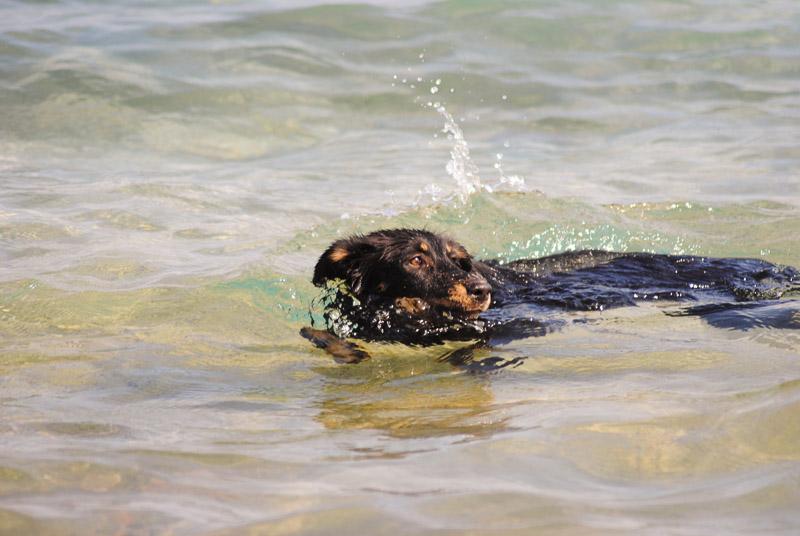 mixed breed swimming, Animal Welfare Dahab in Sinai, Egypt