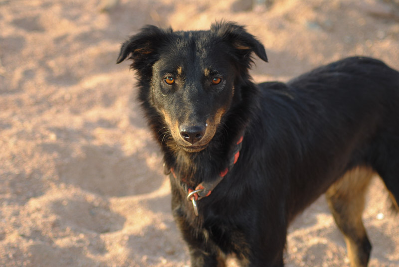 Adoptable dog in the sand, Animal Welfare Dahab in Sinai, Egypt