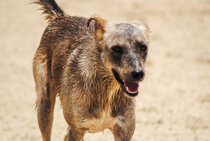 adoptable dog running along the beach