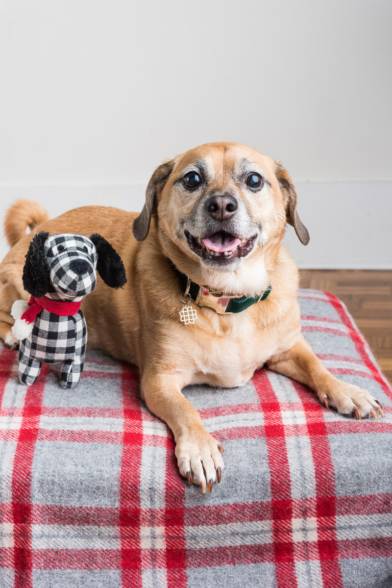 cute senior Puggle sitting on cushion | Syracuse dog photographer ©Alice G Patterson Photography
