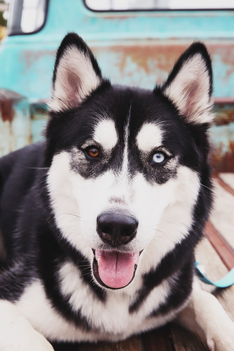 lifestyle dog photography, handsome Siberian Husky with Heterochromia in old truck ©Sarah Jay Photography