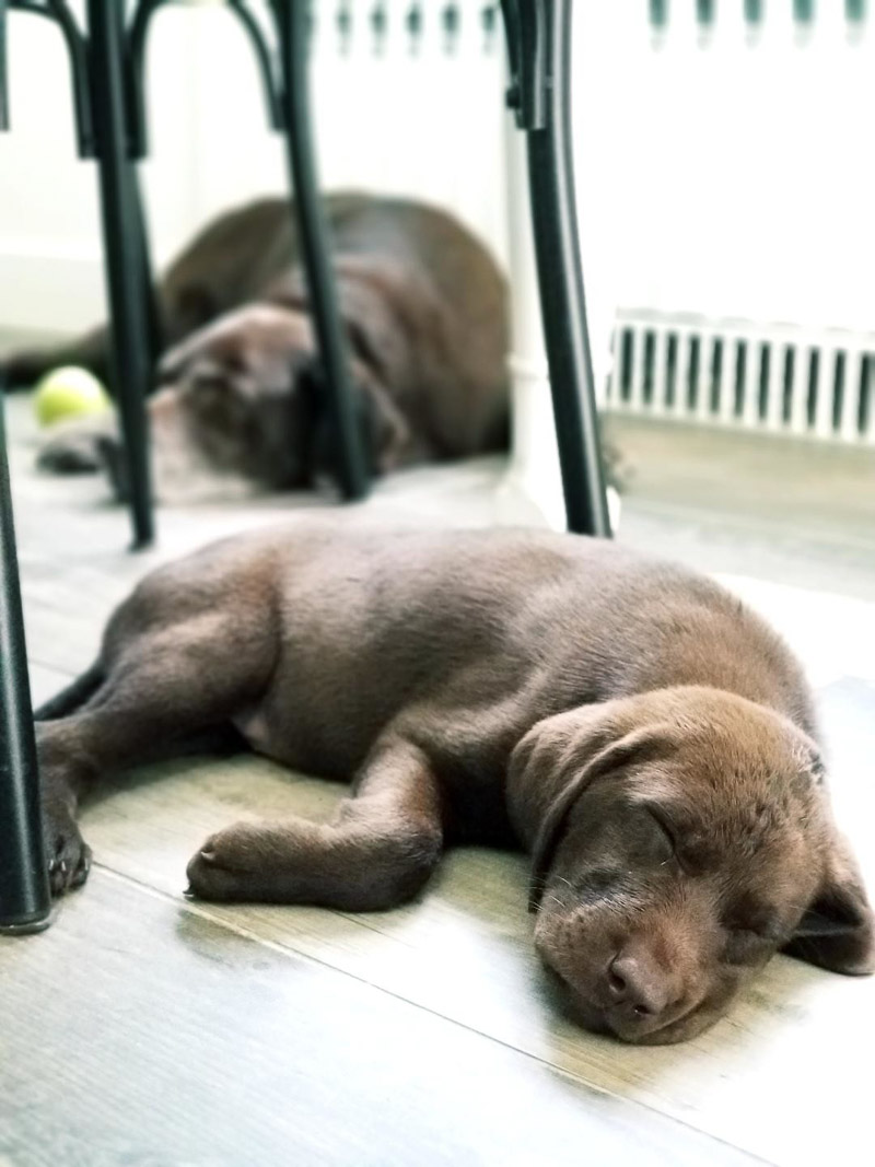 tired puppy sleeping on the floor, senior dog napping, ©designs HOBBY photography | in home pet photography, Medford