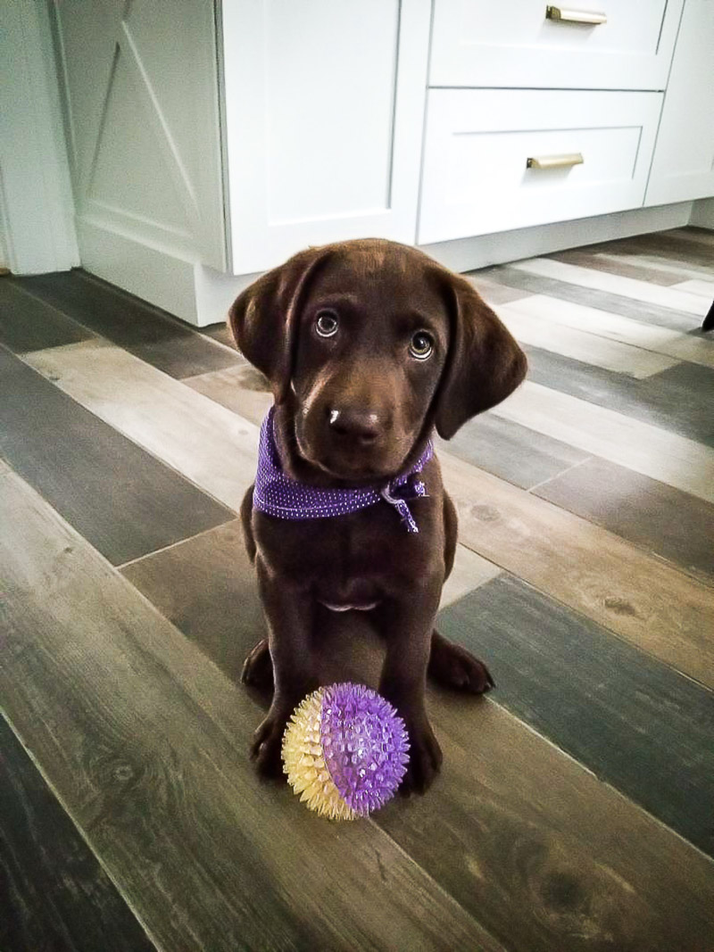 little puppy with purple and yellow ball | ©designs HOBBY photography | lifestyle dog photography, Medford, Massachusetts